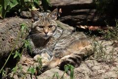 European wildcat (Felis silvestris silvestris). Wild life animal Royalty Free Stock Image