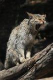 European wildcat (Felis silvestris silvestris). Wild life animal Stock Photos