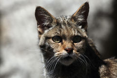 European wildcat (Felis silvestris silvestris). Royalty Free Stock Photos