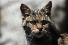 European wildcat (Felis silvestris silvestris). Wild life animal Royalty Free Stock Photos
