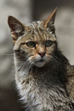 European wildcat (Felis silvestris silvestris). Royalty Free Stock Images