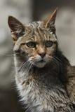 European wildcat (Felis silvestris silvestris). Wild life animal Royalty Free Stock Images