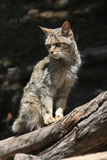 European wildcat (Felis silvestris silvestris). Wild life animal Stock Images