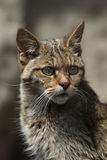 European wildcat (Felis silvestris silvestris). Wild life animal Stock Photography