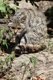European wildcat (Felis silvestris silvestris). Stock Photos