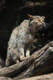 European wildcat (Felis silvestris silvestris). Royalty Free Stock Image