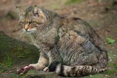 European wildcat (Felis silvestris silvestris). Wildlife animal Stock Photo