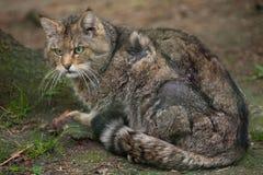 European wildcat (Felis silvestris silvestris). Wildlife animal Royalty Free Stock Image