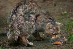 European wildcat (Felis silvestris silvestris). Wildlife animal Royalty Free Stock Photography