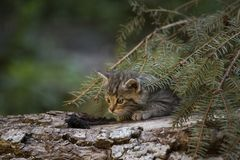European Wildcat kitten playing on a tree log. European Wildcat Felis Silvestris - small, fluffy and cute kitten out exploring, checking the surroundings royalty free stock photos