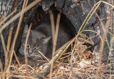 European wildcat Stock Image