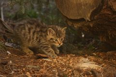 European Wildcat kitten checking the leftovers from its meal. European Wildcat Felis Silvestris - small, fluffy and cute kitten out exploring, checking the royalty free stock photos