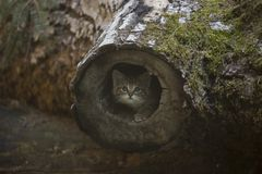 European Wildcat kitten hiding in a log. European Wildcat Felis Silvestris - small, fluffy and cute kitten out exploring, checking the surroundings, playing royalty free stock photos
