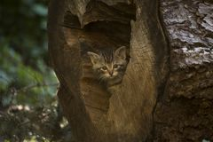 European Wildcat kitten hiding in a log. European Wildcat Felis Silvestris - small, fluffy and cute kitten out exploring, checking the surroundings, playing royalty free stock photo