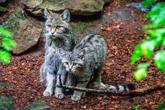 European wildcat offspring couple royalty free stock image