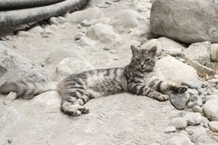 European wildcat with silver marble fur, beautiful cat on rocky stones in Samaria gorge, Crete island stock photos