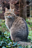 European wildcat Royalty Free Stock Image