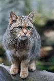 European Wildcat Royalty Free Stock Photo