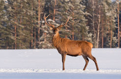 European wildlife landscape with snow and deer with big antlers.Portrait of Lonely stag. Royalty Free Stock Image