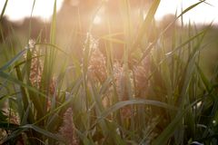 European wildlife, open spaces, evening twilight. The grass grows in the field, the reed at sunset, the beginning of summer and everything is very green, the royalty free stock photos