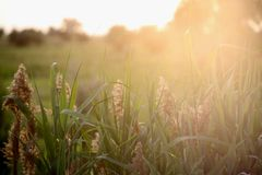 European wildlife, open spaces, evening twilight. The grass grows in the field, the reed at sunset, the beginning of summer and everything is very green, the royalty free stock images