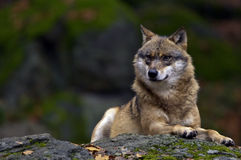 European Wolf. A European wolf sitting on a rock, in a forest Stock Photography