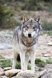 European Wolf. In wildlife in Spain royalty free stock photography
