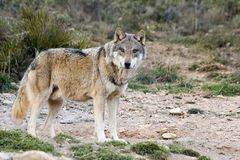 European Wolf. In wildlife in mountain royalty free stock photography