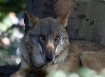 European Wolf Royalty Free Stock Photo