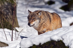 European wolf (Canis lupus) Stock Photography