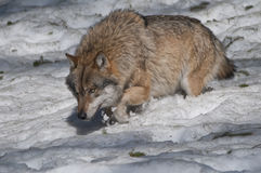 European wolf (Canis lupus) Stock Images