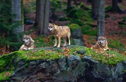 Free European Wolf (Canis Lupus) Stock Photography - 11761572