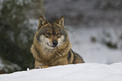European wolf (Canis lupus). A wolf lies on snow and observes the area Stock Photos