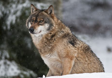 European wolf (Canis lupus). A wolf sit on snow and observes the area Stock Photo