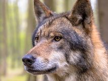 Portrait of Wolf in a forest. European Wolf (Canis lupus) closeup portrait in natural forest habitat looking to side Royalty Free Stock Images