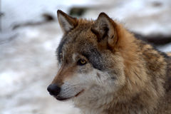 European wolf - Canis lupus lupus Stock Photo