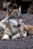 European wolf - Canis lupus lupus Royalty Free Stock Images