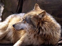 European wolf - Canis lupus lupus. Grey wolf stock images