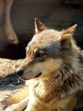 European wolf - Canis lupus lupus. Grey wolf head stock image