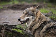 European Wolf, Canis lupus lupus. K9 stock image
