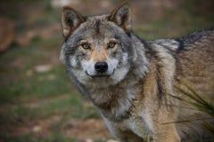 European wolf Royalty Free Stock Photos