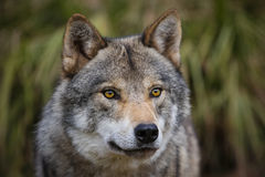 European wolf. Close up Eurasian Wolf (Canis Lupus Stock Image