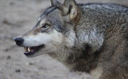 European wolf closeup Royalty Free Stock Photography