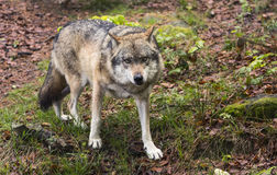European wolf, Europaeischer Wolf, Canis lupus, wolf, CZECH REPUBLIC Stock Photography