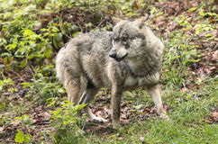 European wolf, Europaeischer Wolf, Canis lupus, wolf, CZECH REPUBLIC Royalty Free Stock Images