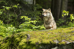 European wolf, Europaeischer Wolf, Canis lupus, wolf, CZECH REPUBLIC Royalty Free Stock Photos