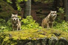 European wolf, Europaeischer Wolf, Canis lupus, wolf, CZECH REPUBLIC Stock Photography
