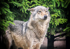 European wolf in forest Stock Image
