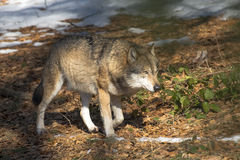 European Wolf in a forest Stock Photo