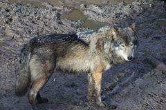 European wolf royalty free stock photography